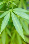 Užívání marihuany