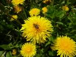 Kdo nemá rád vůni čerstvě posečené trávy? Včely!
