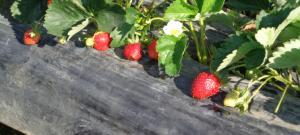 Nové trendy v pěstování jahod