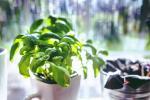 Jak na pěstování bylinek doma