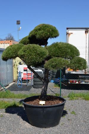 Okrasný jehličnan jako dominanta vaší zahrady
